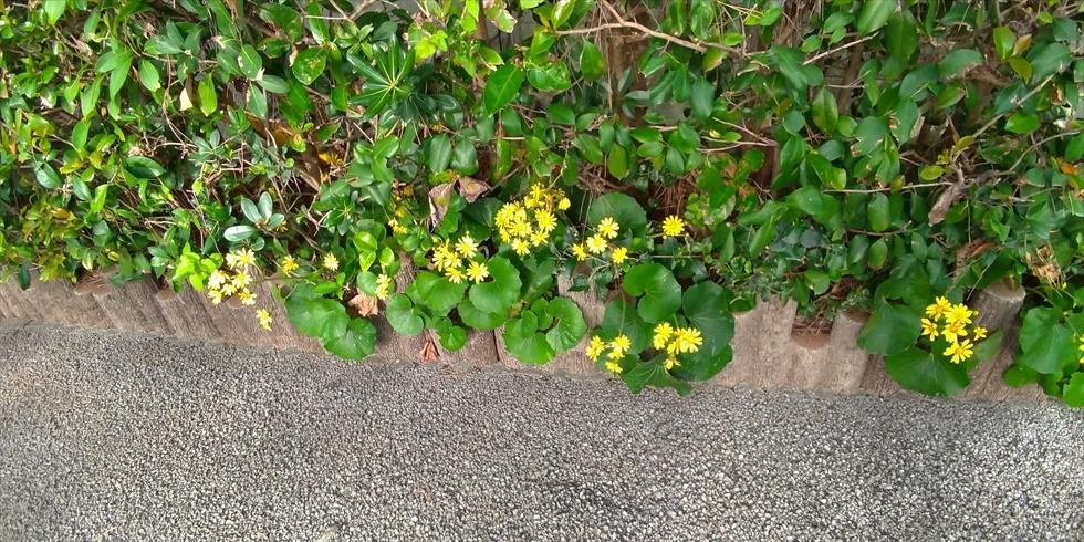 桂浜の石蕗/艶蕗(つわぶき)遊歩道