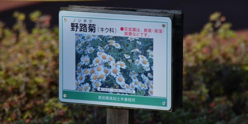 桂浜の野路菊の説明看板(桂浜入り口にて)