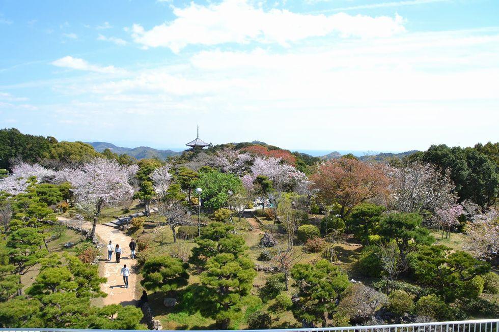 高知市・五台山のサクラ(2)