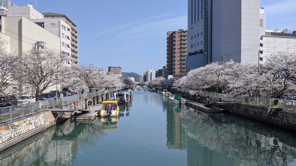 高知市・堀川のサクラ(1)