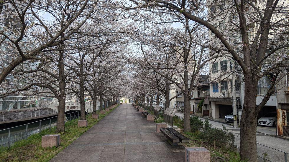 高知市・堀川のサクラ(2)