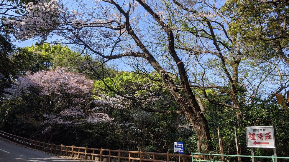 高知市・桂浜のサクラ(1)