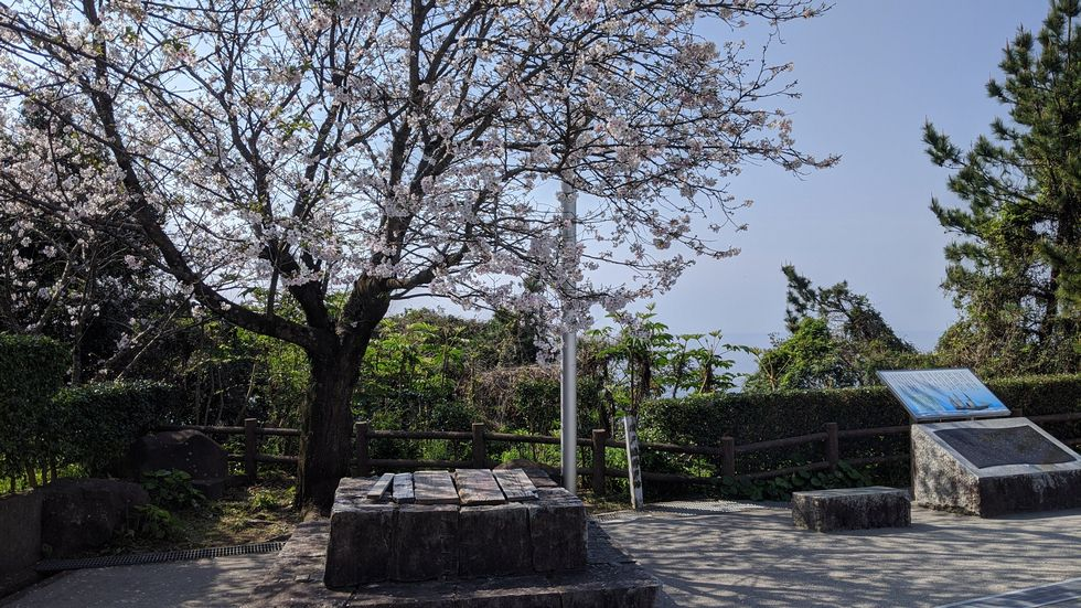 高知市・桂浜のサクラ(5)