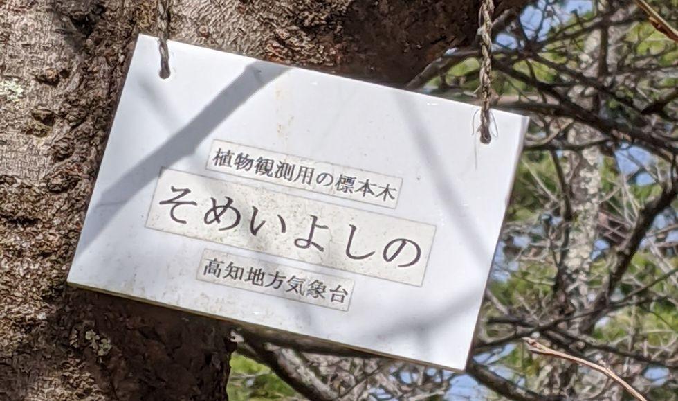 高知のそめいよしの標準木